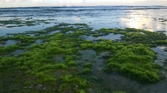 rumput laut dari dekat. hijau muda